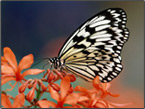 Butterfly Screensavers